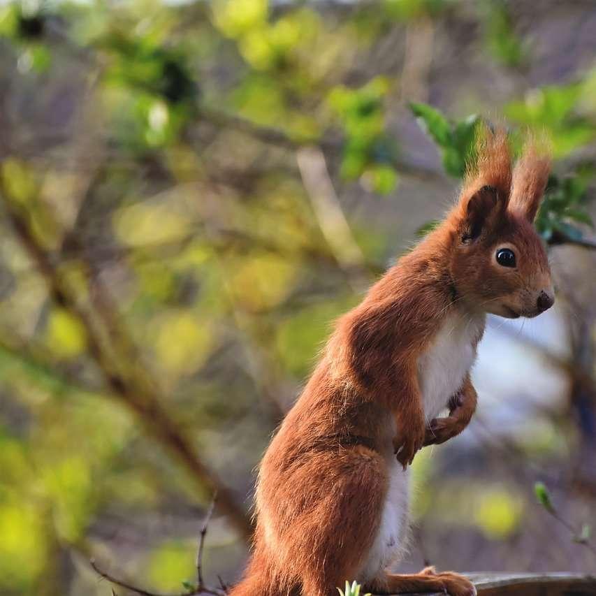 Wiewiórka - Wiewiórka na ławeczce przystanęła na chwilę. Dobre zdjęcie (5×5)