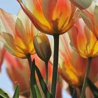 Tulpen in de wei