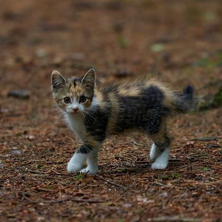 bellissimo gatto piccolo -  (10×10)