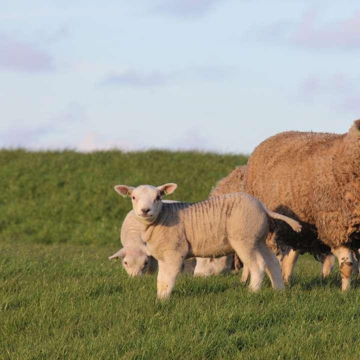 πρόβατα σε πολύ πράσινο γρασίδι -  (10×10)