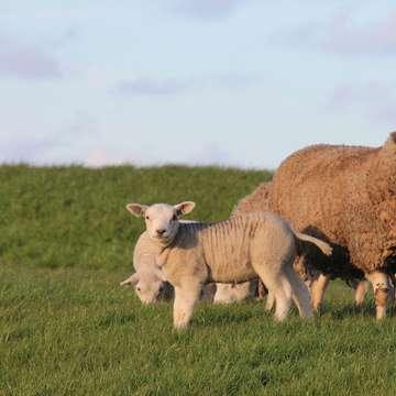 pecore su erba molto verde