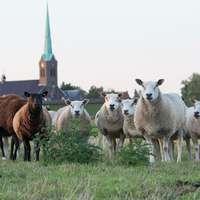 Pecore Di Campagna
