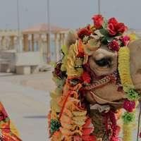 Camel At Dwarka