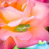 Groda på ros