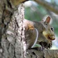 hnědý hlodavec na větev stromu