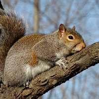 wiewiórka łapie trochę słońca na gałęzi