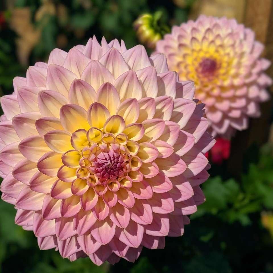 Dalia rosa y amarilla