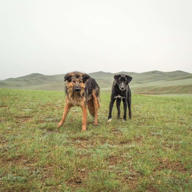 Cani mongoli selvatici inzuppati dopo un temporale - cani adulti marroni e neri sul campo di erba verde durante il giorno. Mongolia (8×8)