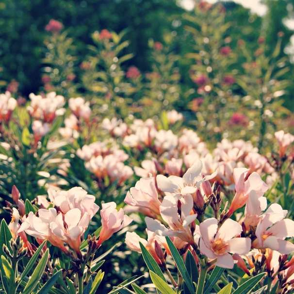 Cremige rosa Blüten - rosa Blüten, die tagsüber blühen (3×3)