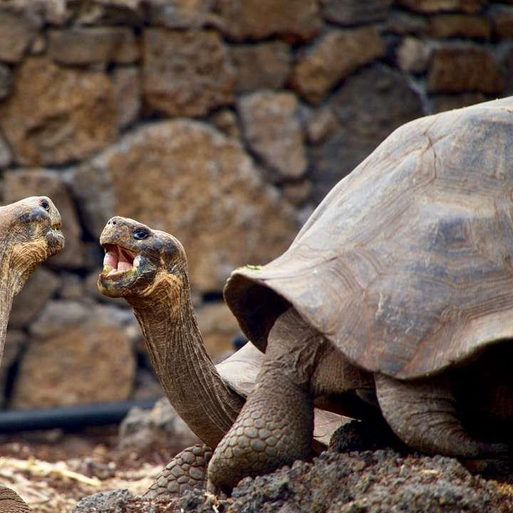 Tortoises talking in the Galapagos - two brown tortoise facing each other. Galapagos Islands, Ecuador (3×3)