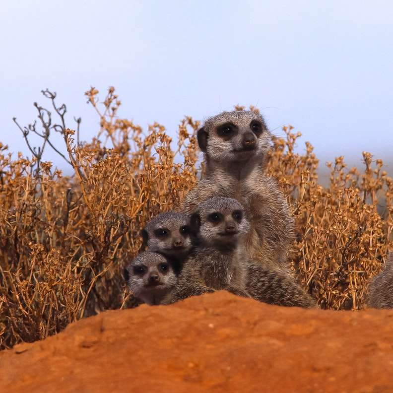 grupa surykatek - Pobudka o 4 nad ranem, aby wędrować w dziczy w Południowej Afryce w poszukiwaniu rodzinnej jaskini, czekając 3 godziny na wschód słońca i dodatkowa godzina, zanim wreszcie się pojawią, było (3×3)