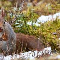 Wiewiórka w lesie