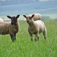 γκρι και άσπρα πρόβατα στο πράσινο λιβάδι
