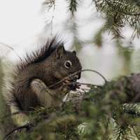 bruine eekhoorn
