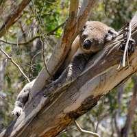 szara koala na drzewie