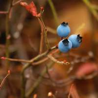 three blueberries on branch