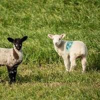 λευκά πρόβατα σε πράσινο γρασίδι πεδίο κατά τη διάρκεια της ημέρας