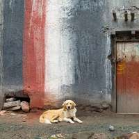 2 bruna kort belagda hundar som ligger på grå betonggolv