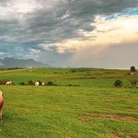 κοπάδι αγελάδας σε πράσινο γρασίδι πεδίο κάτω από λευκά σύννεφα