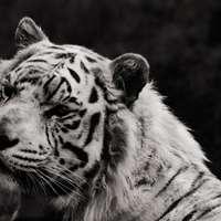 Foto en escala de grises de tigre tendido en el suelo