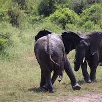 černý slon chůzi na zelené louky během dne