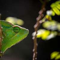 groene kameleon op bruine boomtak