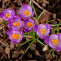 lila blommor på brun jord