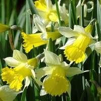 narcisos amarelos em flor durante o dia