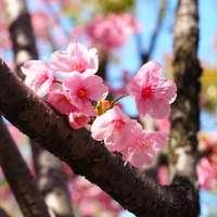 flor de cerejeira rosa em flor durante o dia