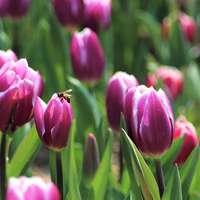 tulipas rosa em flor durante o dia