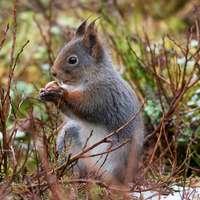 grijze eekhoorn op bruin gras overdag