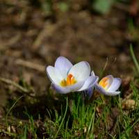 fehér sáfrány virág virágzik napközben