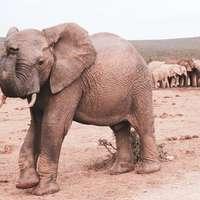 grijze olifant die overdag op bruin zand loopt