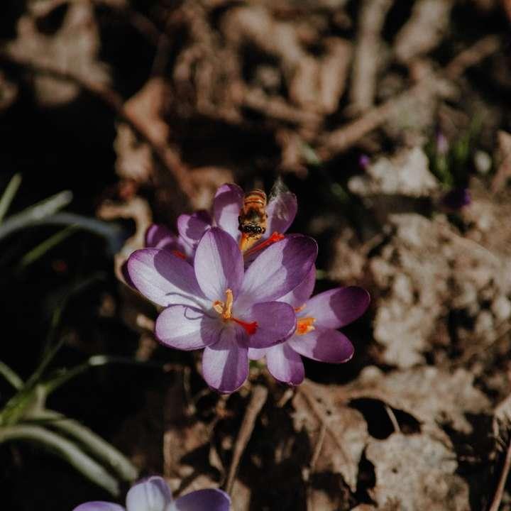purpurowy kwiat na brązowej glebie - Schkeuditz, Sachsen, Deutschland (10×10)
