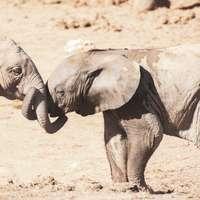 šedý slon chůzi na hnědém písku během dne
