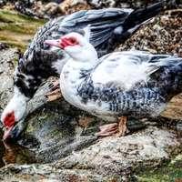 weiße und schwarze Ente auf grauem Felsen