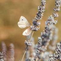 vit fjäril uppflugen på vit blomma