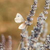 бяла пеперуда, кацнала на бяло цвете