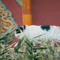 vit och svart långbelagd hund på grönt gräs