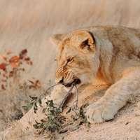 καφέ λέαινα ξαπλωμένη στο πεδίο καφέ γρασίδι κατά τη διάρκεια της ημέρας