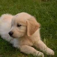 Cachorro labrador retriever amarillo acostado sobre el campo de hierba verde