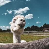 witte kameel op groen grasveld onder blauwe hemel