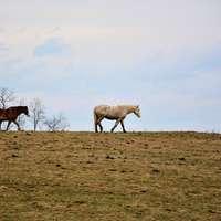 witte en bruine paarden op bruin veld overdag