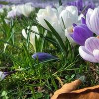 paarse krokusbloemen bloeien overdag