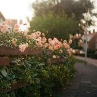 rosa blommor med gröna blad