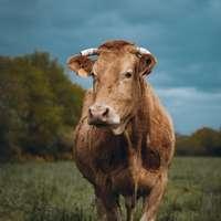 Vaca marrom no campo de grama verde sob o céu azul durante o dia