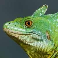 Grön och vit ödla i närbild