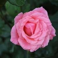 Rosa rosa en flor durante el día