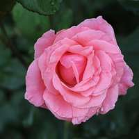 Roze steeg overdag in bloei