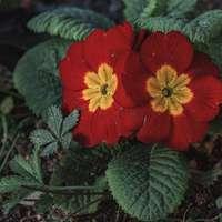 Flor roja con hojas verdes